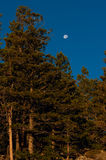 Moon Setting in a Blue Sky. The end of evening and the moon is setting over these mountain trees Stock Images