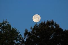 Moon setting in the morning. Moon getting ready to set behind some pine trees in the morning Stock Images