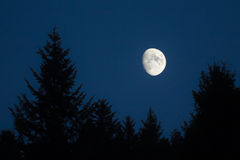Moon setting over green spruces Royalty Free Stock Image