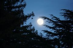 Moon is shining large and bright through pine tree branches. Large bright moon nestled between pine tree branches, during twilight evening hour. Pine tree royalty free stock photos