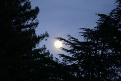 Moon is shining large and bright through pine tree branches. Large bright moon nestled between pine tree branches, during twilight evening hour. Pine tree royalty free stock image