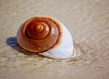 Moon Snail on beach Stock Photography