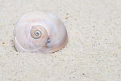 Moon Snail Portrait. Moon Snail or Shark's Eye shell, lives in Florida waters and can be found on its beaches. It is a carnivore and feeds on clams. Seen here on Royalty Free Stock Image