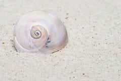 Moon Snail Portrait royalty free stock image
