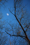 Moon and tree branches Royalty Free Stock Images