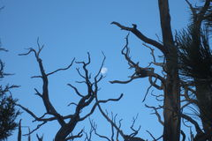 Moon in tree branches Stock Photos