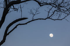 Moon Trees Royalty Free Stock Photography