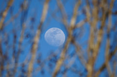 Moon Between Trees Royalty Free Stock Images