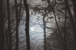 Moon trough trees at night. Moon rising trough pine trees at night Royalty Free Stock Photography