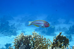 Moon wrasse. Fish in red sea Royalty Free Stock Images