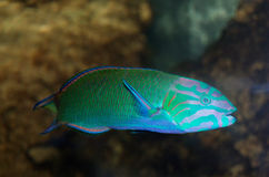 Moon wrasse aquarium fish ( thalassoma lunare ) Royalty Free Stock Image