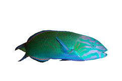 Moon wrasse aquarium fish ( thalassoma lunare ) Stock Photo