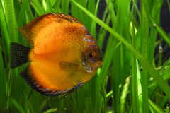 Moonfish en acuario Fotografía de archivo libre de regalías