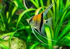Moonfish en primer, un animal doméstico tropical del Redback del acuario de Rio Manacapuru fotos de archivo