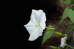Moonflower. Foto de archivo