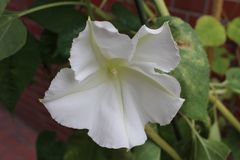 Moonflower Stockfotografie