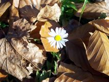 Moonflower is in the dead fallen leaves stock photography