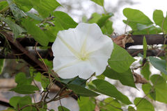 Moonflower Ipomoea alba L. blomming on plants, Edible flower. Moonflower Ipomoea alba L. blomming on vine, plants, Edible flower, garden stock photos