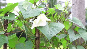Moonflower (Ipomoea alba L.). Edible flower plant. herb for diet. stock footage