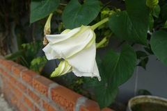 Moonflower & x28; Ipomoea L alba & x29; Fiore commestibile Immagini Stock