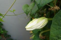 Moonflower & x28; Ipomoeaalbum L & x29; ätlig blomma royaltyfri foto