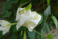 Moonflower & x28; Ipomoeaalbum L & x29; ätlig blomma arkivfoton
