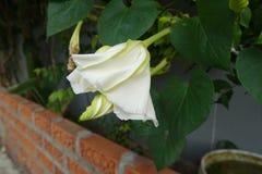 Moonflower & x28; Ipomoeaalbum L & x29; ätlig blomma arkivbilder