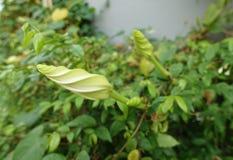 Moonflower & x28; Ipomoeaalbum L & x29; ätlig blomma royaltyfri bild