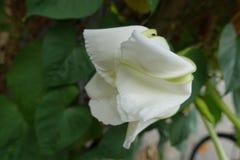 Moonflower & x28; Ipomoeaalbum L & x29; royaltyfri bild