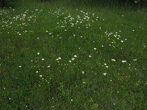 Moonflowers зеленой травы и маргаритки луга весной со штилем и отношением с природой стоковые изображения rf