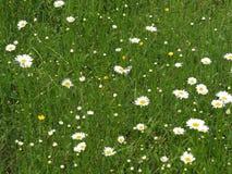 Moonflowers зеленой травы и маргаритки луга весной со штилем и отношением с природой стоковое фото
