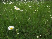 Moonflowers зеленой травы и маргаритки луга весной со штилем и отношением с природой стоковая фотография rf