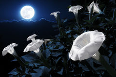Moonflowers Illuminated At Night By A Bright Full Blue Moon. This moonflower bush has blooms that will only bloom at bight. This photo illustration takes Royalty Free Stock Photography