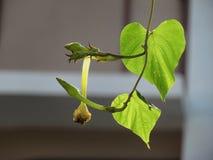 Moonflowers o Ipomoea alba y hojas que cuelgan abajo de los árboles Fotografía de archivo libre de regalías