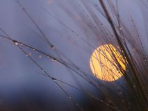 Moonlight Behind Dewy Grass. Dewy grass foreground with a full moon background on  a nice evening Stock Image