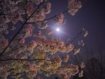 Free Moonlight Cherry Blossoms Stock Image - 100934121