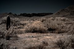 Moonlight Desert Saguaros Royalty Free Stock Image