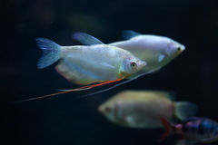 Moonlight gourami (Trichopodus microlepis), also known as the mo Stock Photography