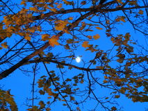 Under maple tree foliage with moonlight by night Stock Photo