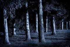 Moonlight Pines. Pine trees in the moonlight royalty free stock photography