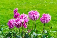 Moonlight Sonata. Dahlia cultivar moonlight Sonata in garden stock photography