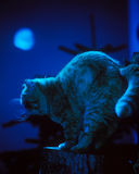 moonlit cat Royalty Free Stock Photography