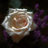 Moonlit Satin White Rose on Black stock photos