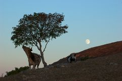 Moonrise. The moon is rising from the backside  of the hill, where two cows stroll around Royalty Free Stock Photo