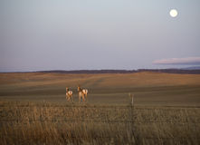 Moonrise over antelope. Two pronghorn antelope running away as the moon rises Stock Photo
