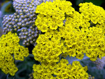 Moonshine Yarrow. In full bloom during Spring stock images