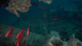 School of Moontail bullseye Priacanthus hamrur on wreck in Red sea stock footage