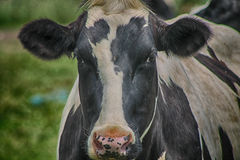Moooo Cow... A close up of a cow Stock Photo