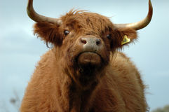 Moooooo stockfotos