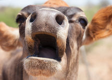 Mooooooooo Stock Photography